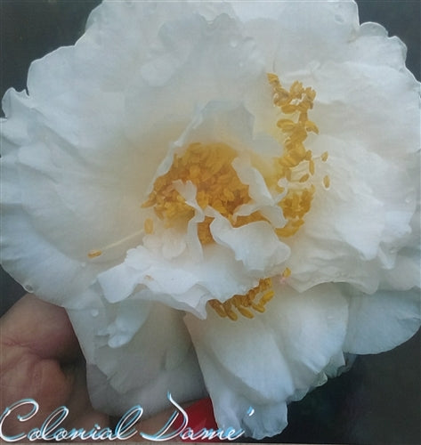 Camellia japonica 'Colonial Dame' at Camellia Forest Nursery