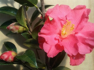 Camellia x williamsii 'Coral Delight'