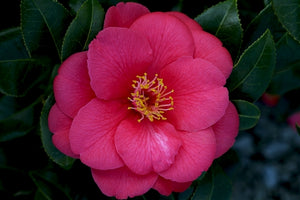 Camellia japonica 'Cup of Beauty' (US) at Camellia Forest Nursery