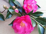 Camellia hiemalis 'Dazzler' at Camellia Forest Nursery