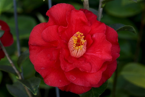 Camellia japonica 'Don Mac' at Camellia Forest Nursery