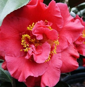 Camellia japonica 'Dr. J. C. Raulston' at Camellia Forest Nursery