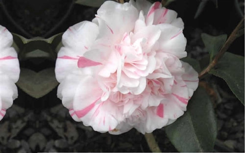 Camellia japonica 'Ester Smith' at Camellia Forest Nursery