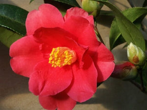 Camellia japonica 'Freedom Bell' at Camellia Forest Nursery