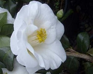 Camellia japonica 'Frost Queen' at Camellia Forest Nursery