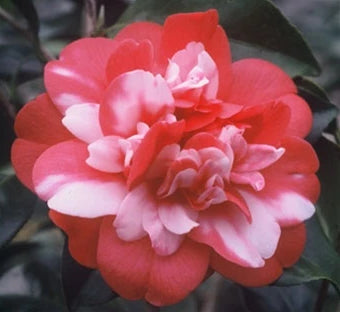 Camellia japonica 'Governor Mouton' at Camellia Forest Nursery