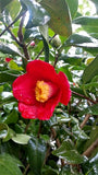 Camellia japonica 'Korean Fire' at Camellia Forest Nursery