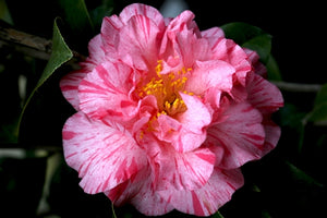 Camellia japonica 'Kick-Off' at Camellia Forest Nursery