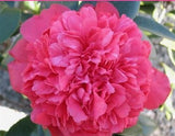 Camellia japonica 'Laura Walker' at Camellia Forest Nursery