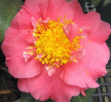 Camellia japonica 'Maiden of Great Promise' at Camellia Forest Nursery