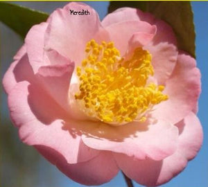 Camellia japonica 'Meredith' at Camellia Forest Nursery