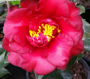 Camellia japonica 'Midnight' at Camellia Forest Nursery