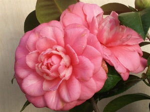 Camellia japonica 'Mrs. Tingley' at Camellia Forest Nursery
