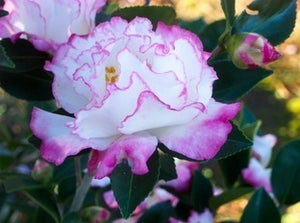 Camellia sasanqua October Magic® Inspiration at Camellia Forest Nursery