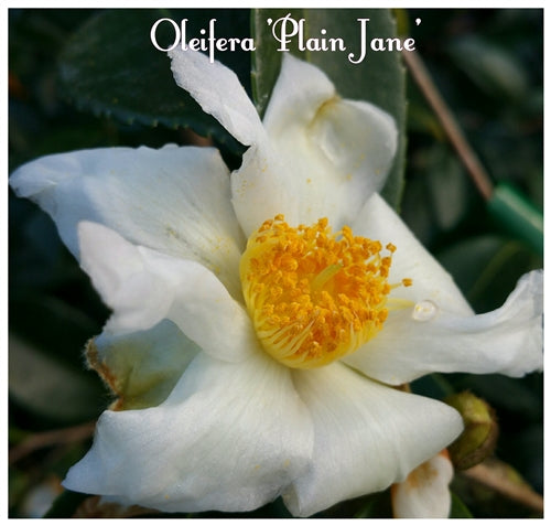 Camellia oleifera 'Plain Jane' at Camellia Forest Nursery