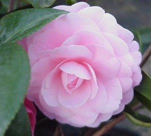 Camellia japonica 'Pink Perfection' at Camellia Forest Nursery