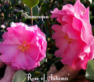 Camellia x 'Rose of Autumn'