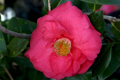Camellia x 'Royal Intrigue'