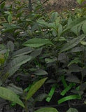 "Camellia sinensis ""China"" tea plant at Camellia Forest Nursery"