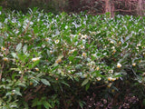 "Camellia sinensis ""Large Leaf"" tea plants, hedge, at Camellia Forest Nursery"