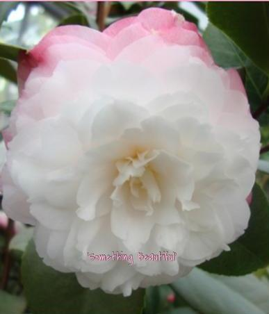 Camellia japonica 'Something Beautiful' at Camellia Forest Nursery