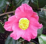Camellia japonica 'Spring's Promise' at Camellia Forest Nursery