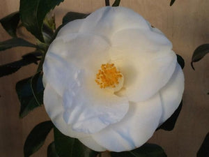 Camellia japonica 'Squadron Leader Astin' at Camellia Forest Nursery