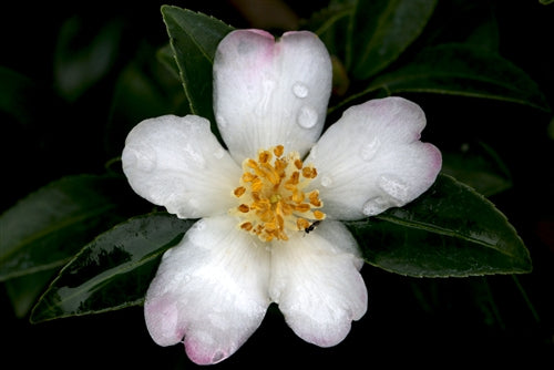 Camellia sasanqua 'Starry Pillar' at Camellia Forest Nursery