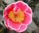 Camellia japonica 'Tama Beauty' at Camellia Forest Nursery
