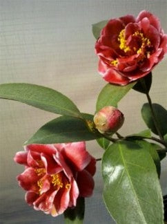 Camellia japonica 'Tama Vino' at Camellia Forest Nursery