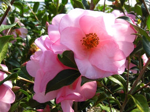 Camellia x 'Taylor's Perfection'