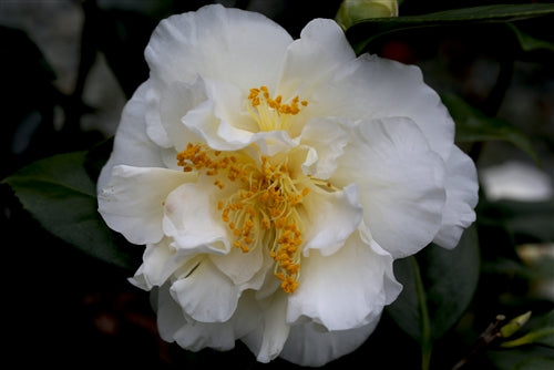 Camellia japonica 'White Empress' at Camellia Forest Nursery