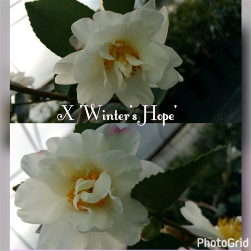 Camellia x 'Winter's Hope'