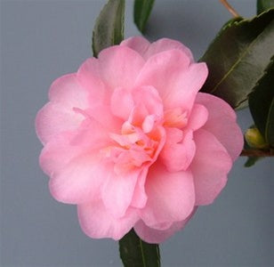 Camellia x 'Winter's Interlude'