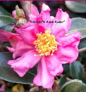 Camellia x 'Winter's Red Rider'