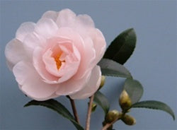 Camellia x 'Winter's Rose'