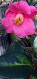 Camellia x williamsii 'Golden Spangles'