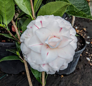 Camellia japonica 'Candy Cane'