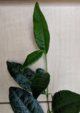 Camellia sinensis 'China' seeds