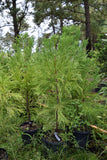 Cryptomeria japonica 'Cryptonite'