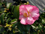 Camellia sasanqua 'Double Rainbow' at Camellia Forest Nursery