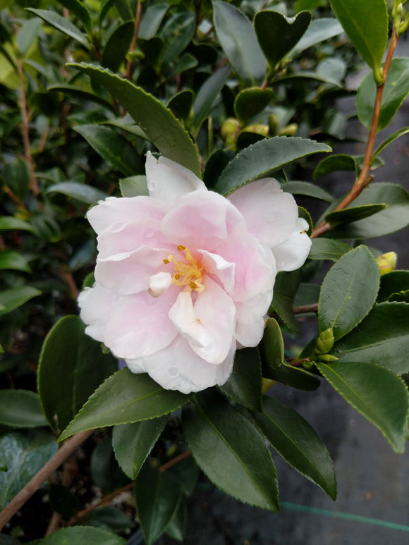 Camellia sasanqua 'Dream Angel' at Camellia Forest Nursery