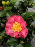 Camellia sasanqua 'Midnight Lover' at Camellia Forest Nursery