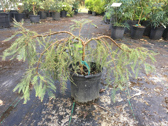 Metasequoia glyptostroboides 'Miss Grace'