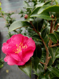 Camellia sasanqua October Magic® Rose
