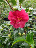 Camellia sasanqua October Magic® Ruby at Camellia Forest Nursery