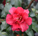 Camellia sasanqua October Magic® Ruby
