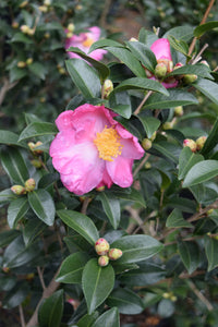 Camellia sasanqua 'Pink Butterfly' at Camellia Forest Nursery