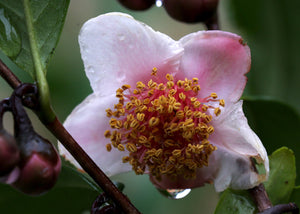 Camellia sinensis 'Rosea' at Camellia Forest Nursery