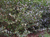 "Camellia sinensis var. sinensis ""Small Leaf"" at Camellia Forest Nursery"